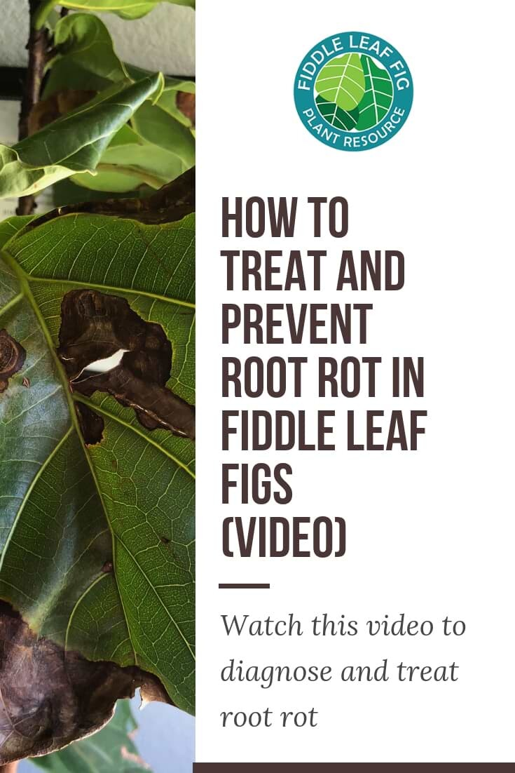 Treat and Prevent Root In Fiddle Leaf Fig