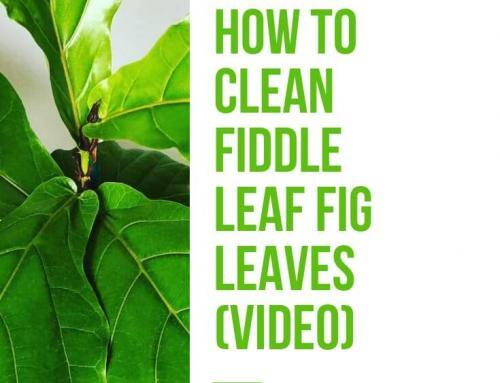 How to Clean Your Fiddle Leaf Fig Leaves (Video)
