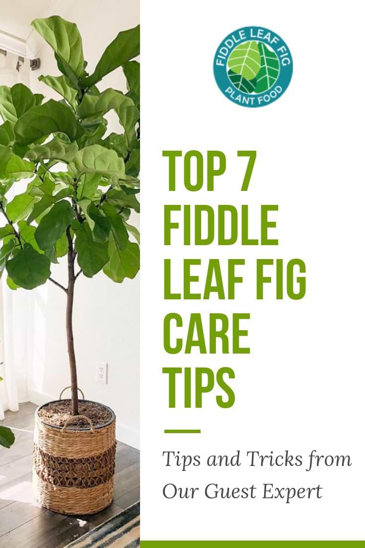 Top 7 Fiddle Leaf Fig Care