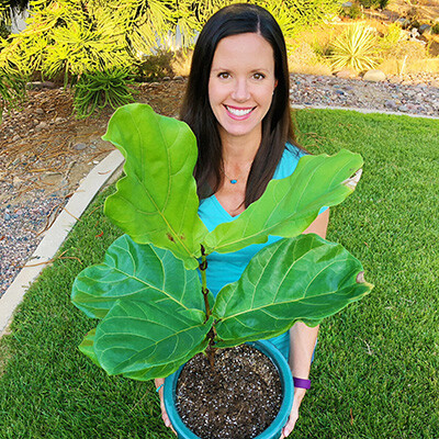 Fiddle Leaf Fig Grower