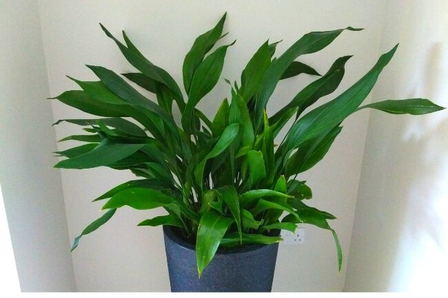 Cast Iron Plants are Easy Houseplants to Care For