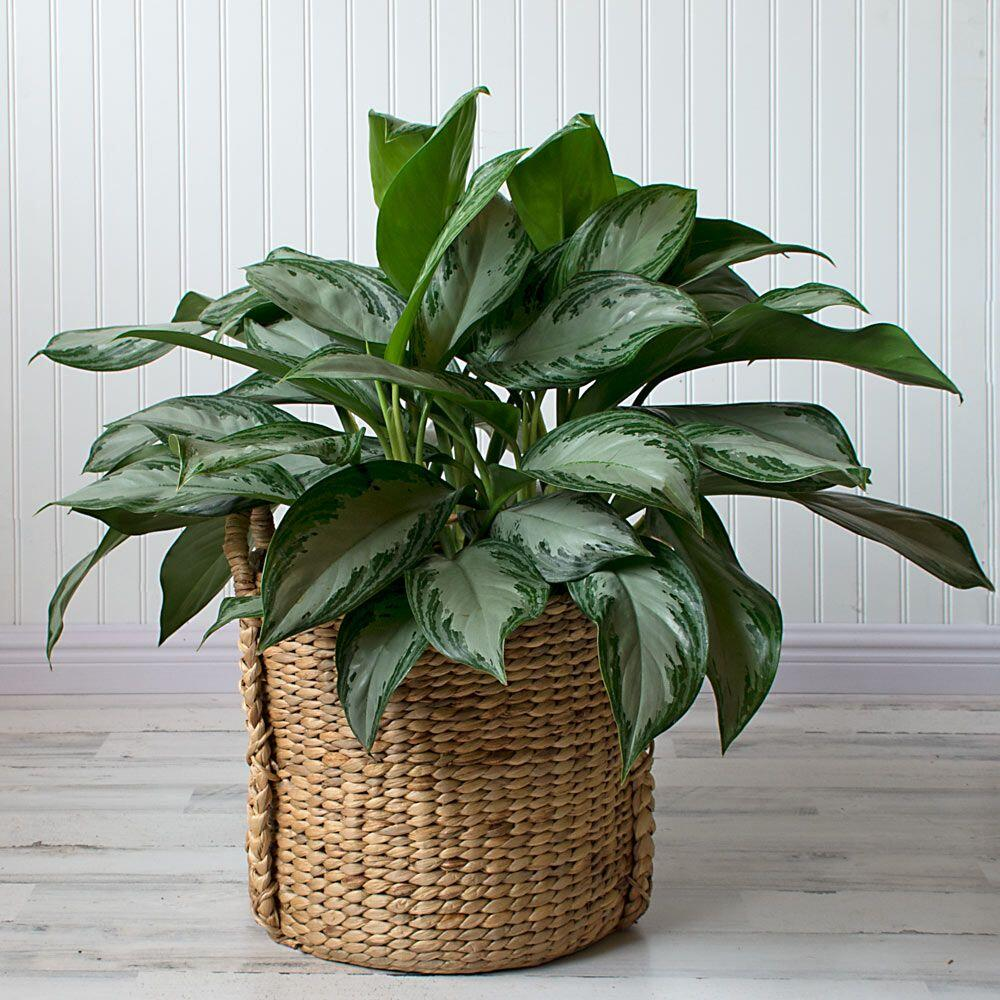 Chinese Evergreen houseplants are easy to care for.