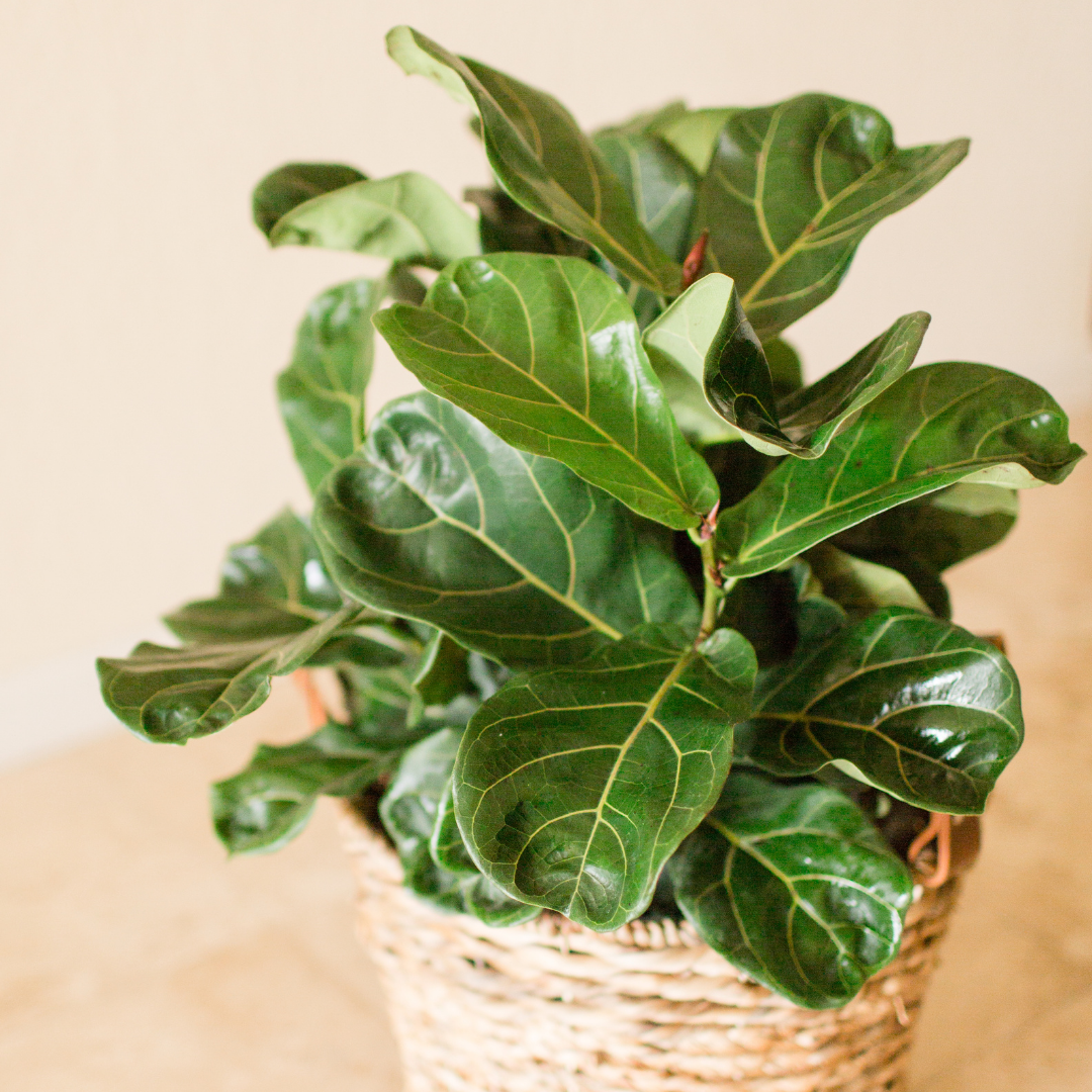 Fiddle Leaf Fig Bush is Easy to Care For