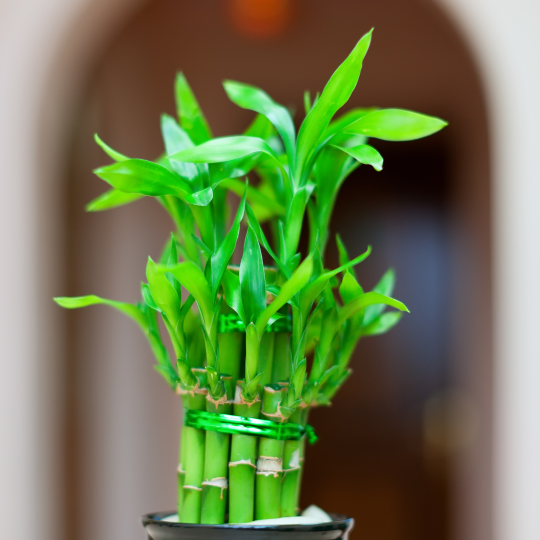 Lucky Bamboo is an easy houseplant to care for.