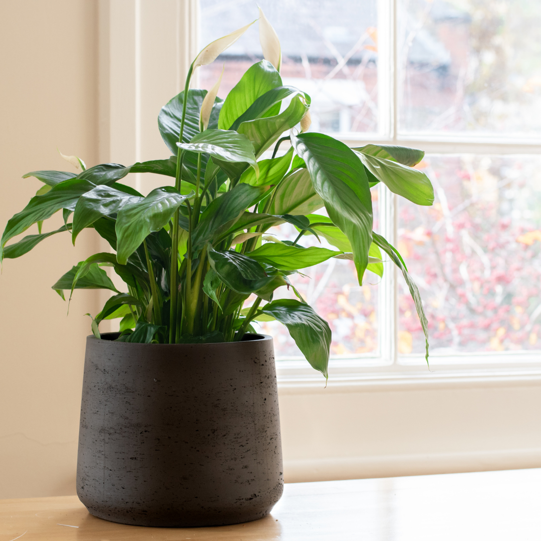 Peace Lily Plants are Easy Houseplants to Care For