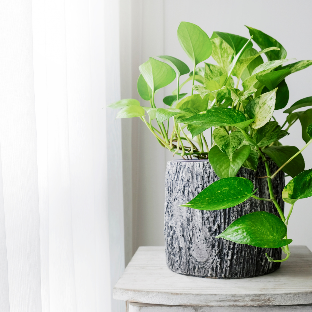 Pothos are easy houseplants to care for