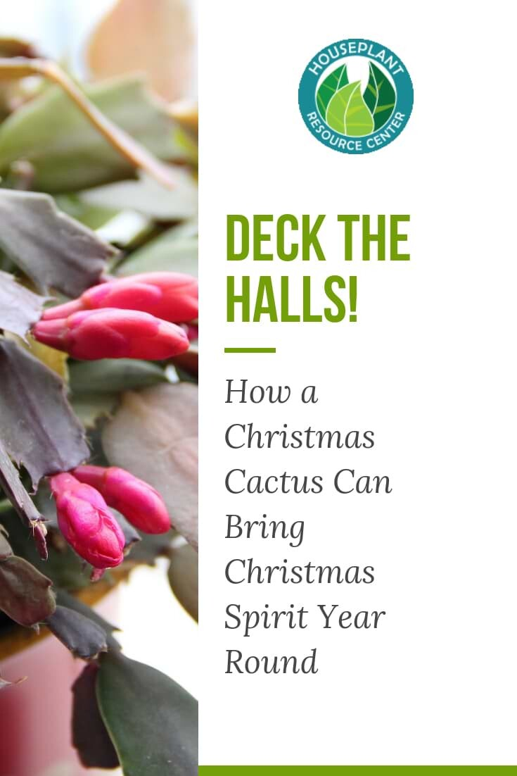 How a Christmas Cactus Can Bring Christmas Spirit Year Round