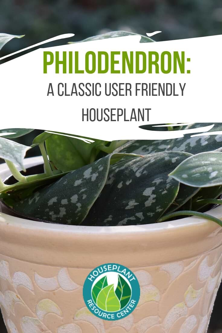 A Classic User Friendly Houseplant