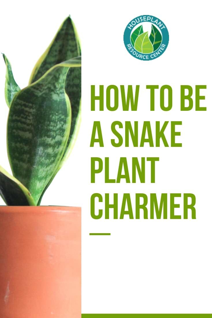 How to Be a Snake Plant Charmer