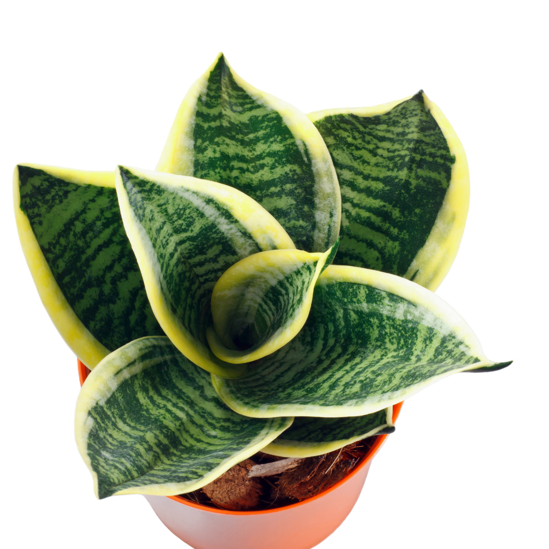 Snake Plants are easy to grow and care for.