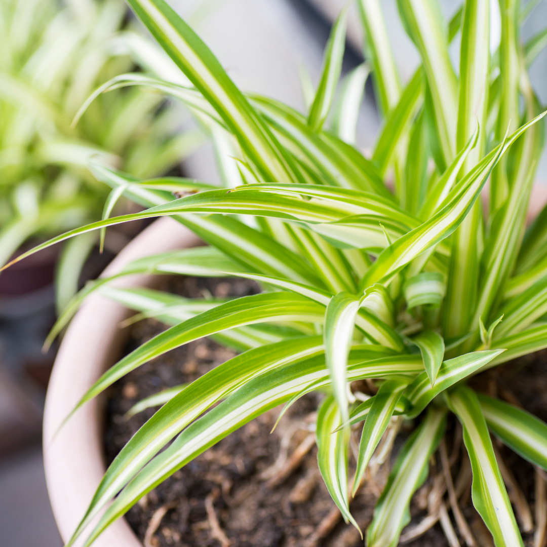 Spider Plants are easy houseplants to grow