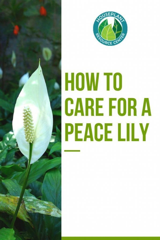 How to Care for a Peace Lily - Houseplant Resource Center