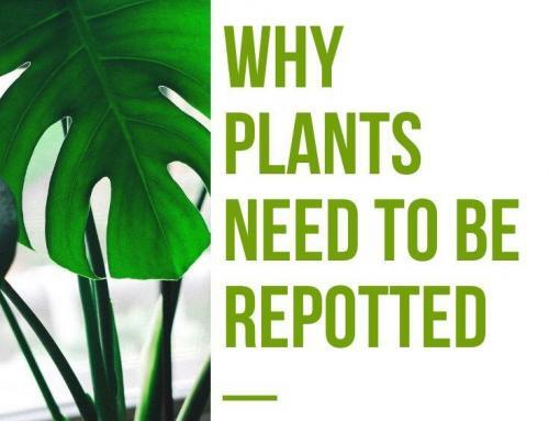 Why Plants Need to Be Repotted