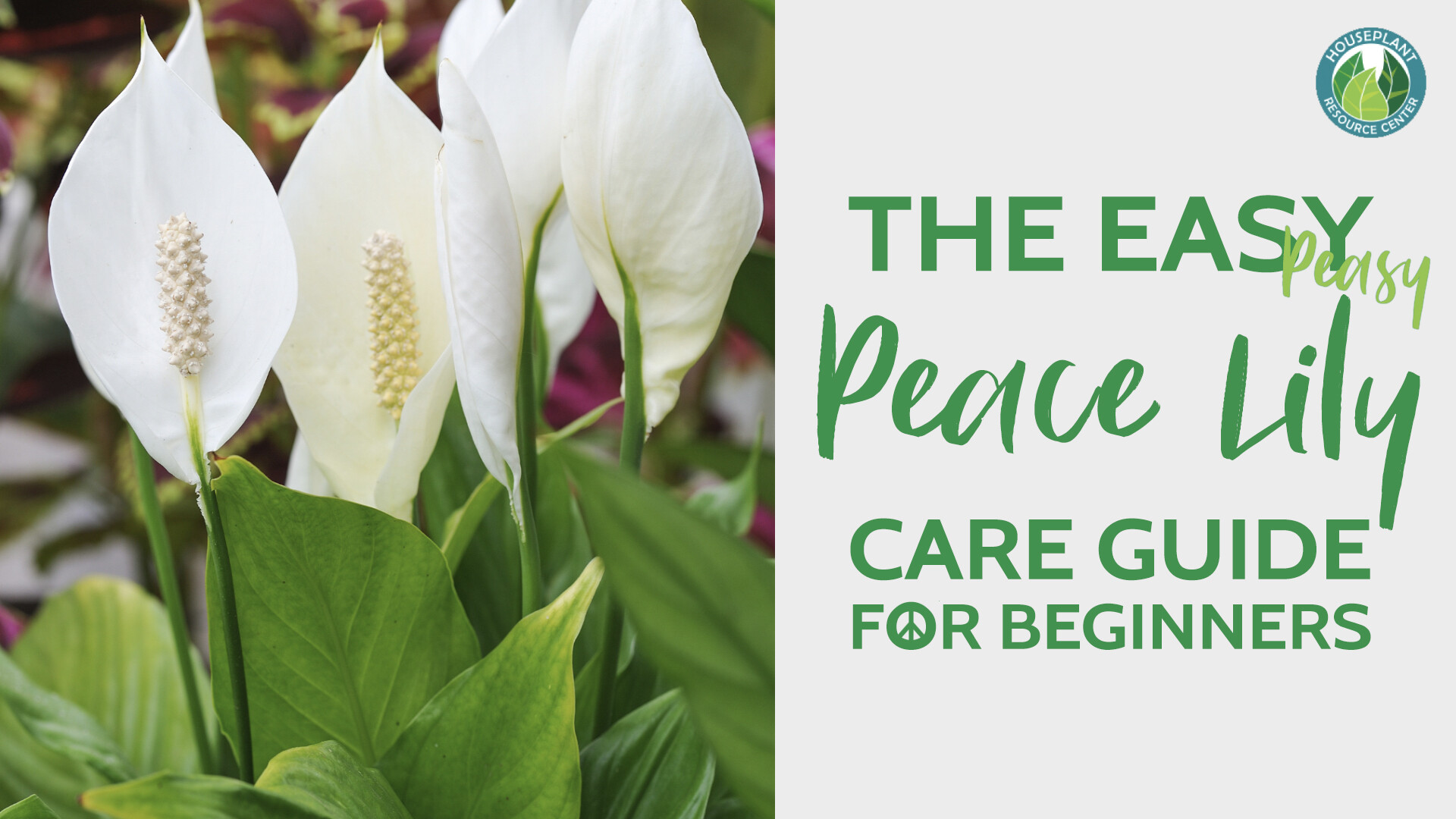 Peace Lily Care for Beginners