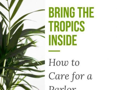 Bring the Tropics Inside: How to Care for a Parlor Palm