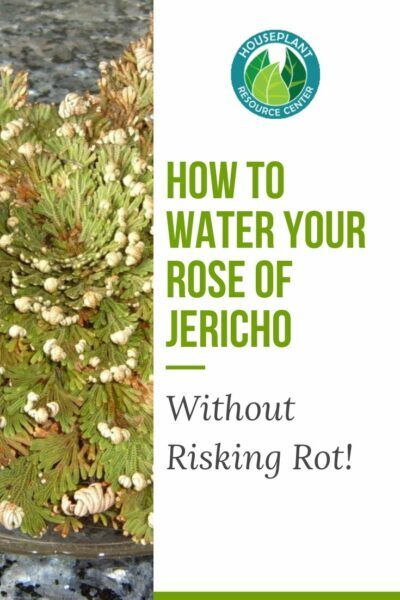 How to Water Your Rose of Jericho
