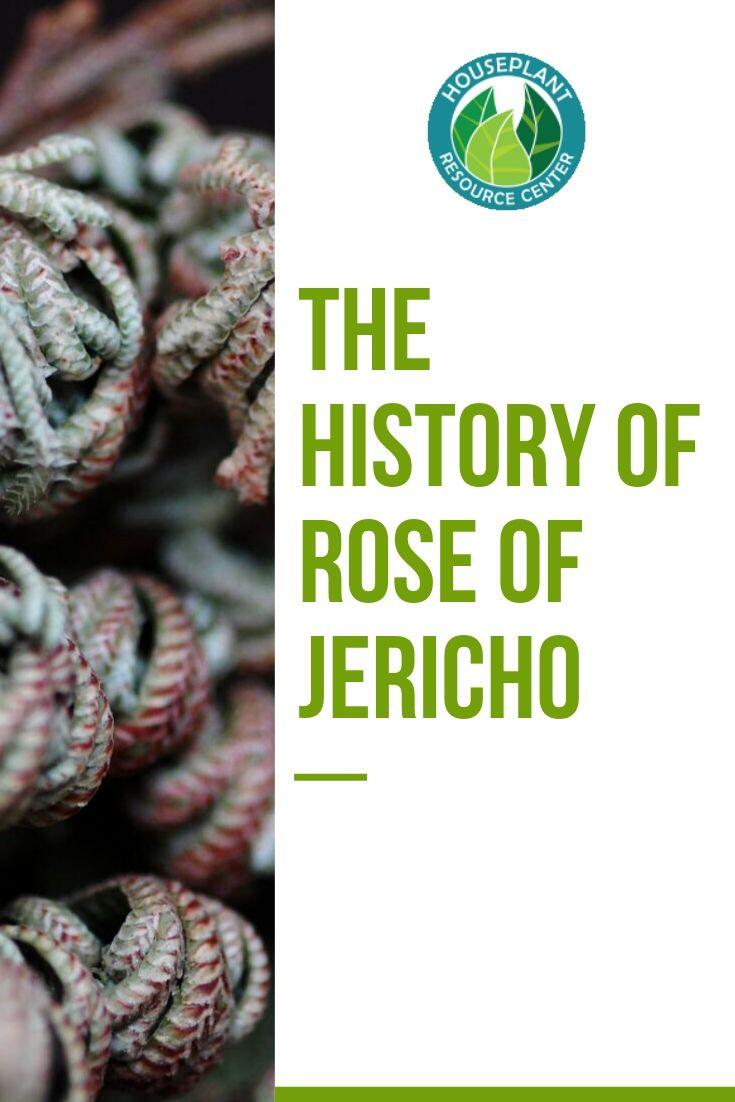 The History of Rose of Jericho