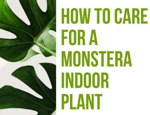 How to Care for a Monstera Indoor Plant