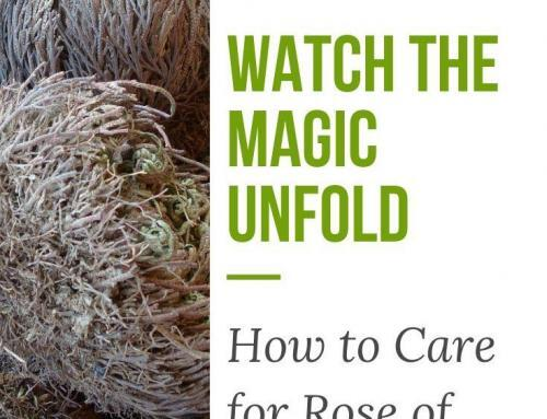 Watch the Magic Unfold: How to Care for Rose of Jericho