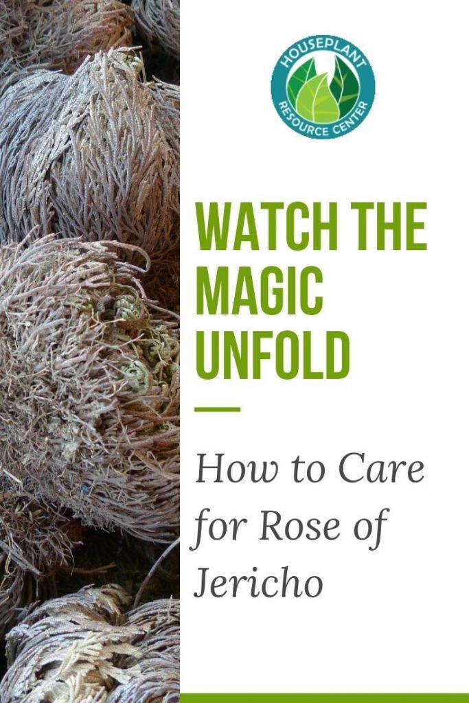 The Houseplant Resource Center | Everything Jericho Rose and