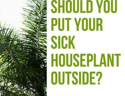 Should You Put Your Sick Houseplant Outside?