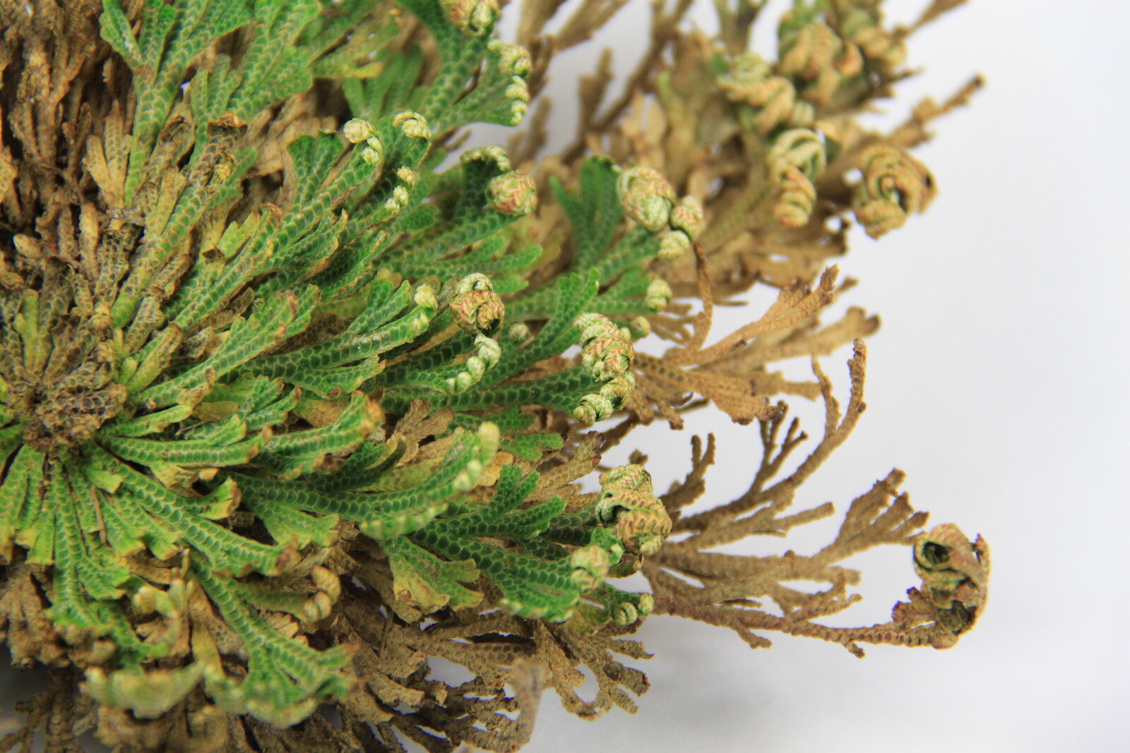 rose of jericho care