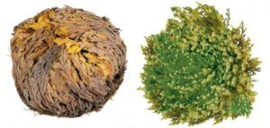 The Ultimate Guide to Rose of Jericho