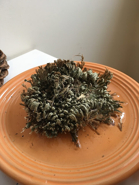 Rose of Jericho Care: What to Do if it Won't Come Back to Life - Houseplant Resource Center