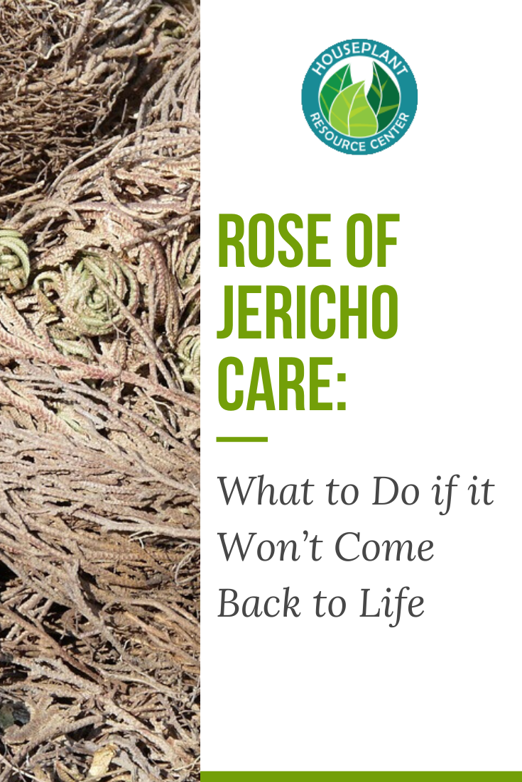 Rose of Jericho Care: What to Do if it Won't Come Back to Life