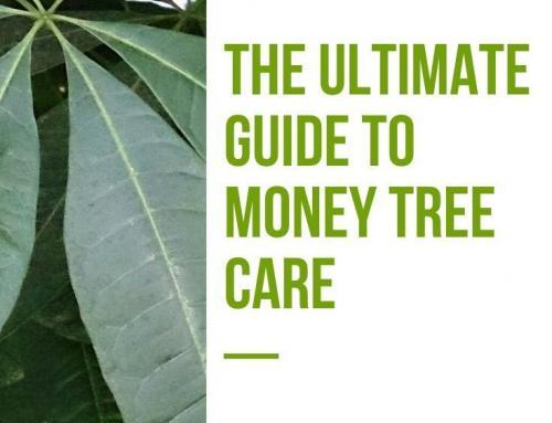The Ultimate Guide to Money Tree Care