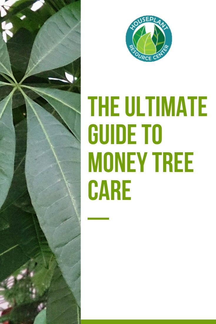 The Ultimate Guide to Money Tree Care - Houseplant Resource Center