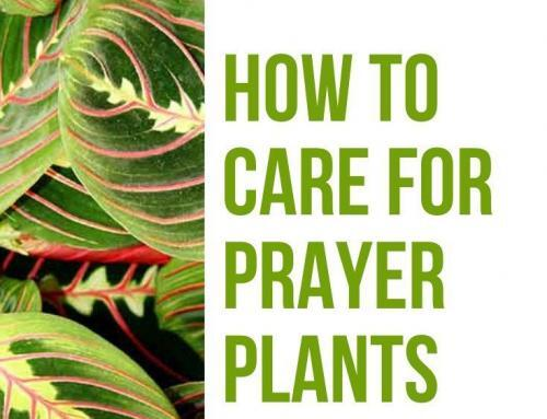 How to Care for Prayer Plants