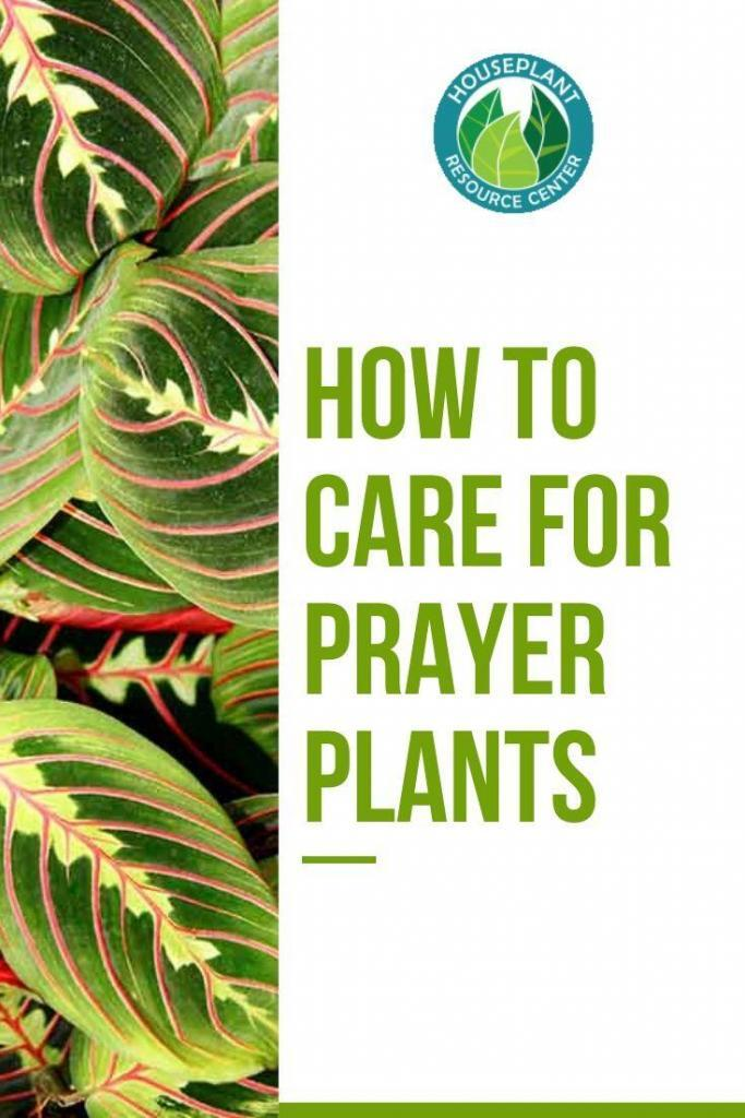 How to Care for Prayer Plants - Houseplant Resource Center