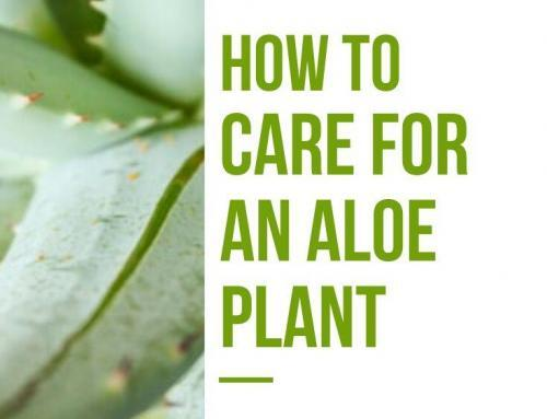 How to Care for an Aloe Plant