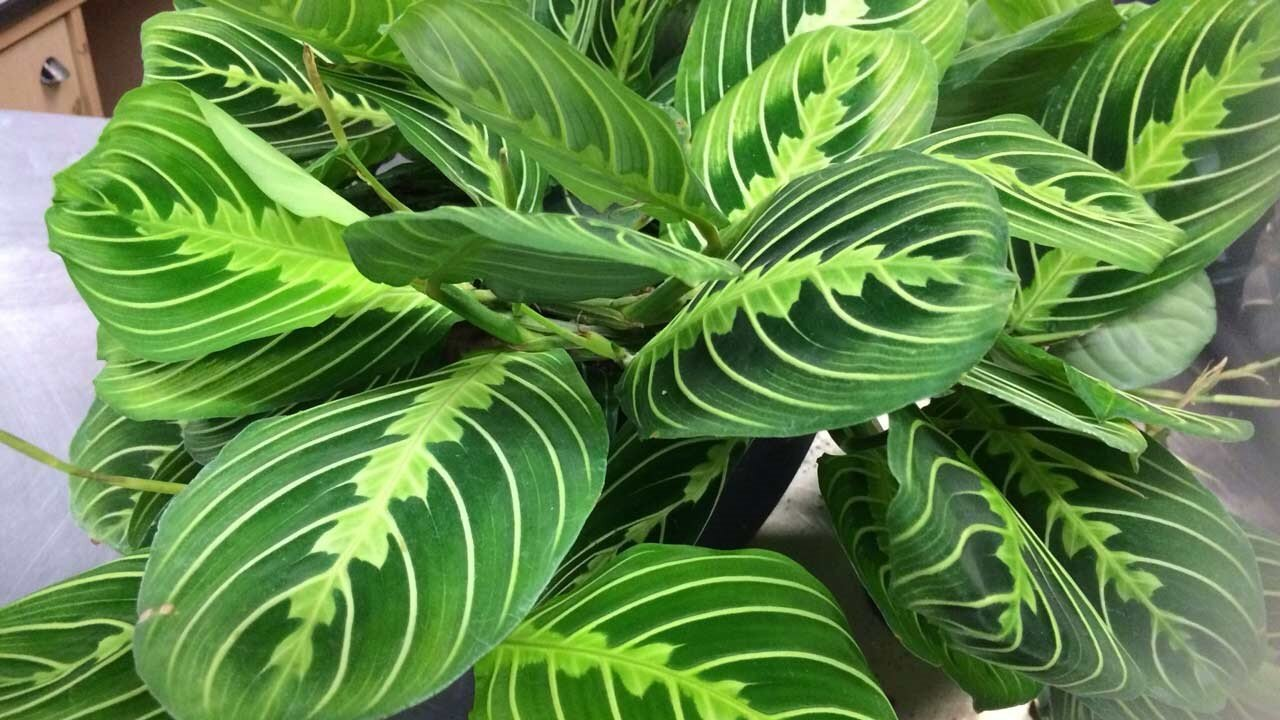 How To Care For Prayer Plants Houseplant Resource Center
