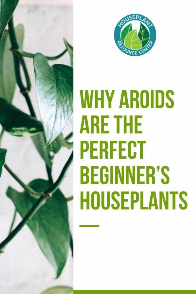 Why Aroids are the Perfect Beginner's Houseplants