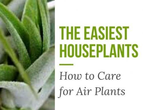 The Easiest Houseplants: How to Care for Air Plants