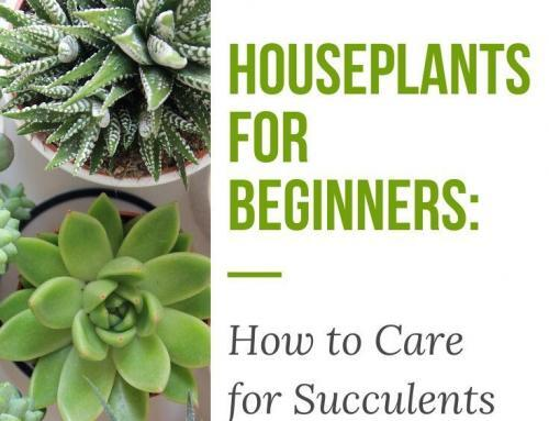 Houseplants for Beginners: How to Care for Succulents