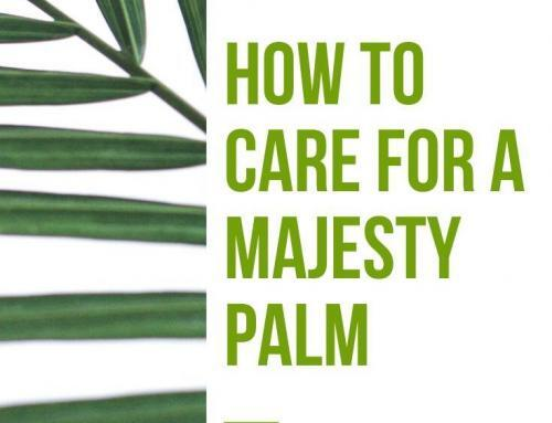 How to Care for a Majesty Palm