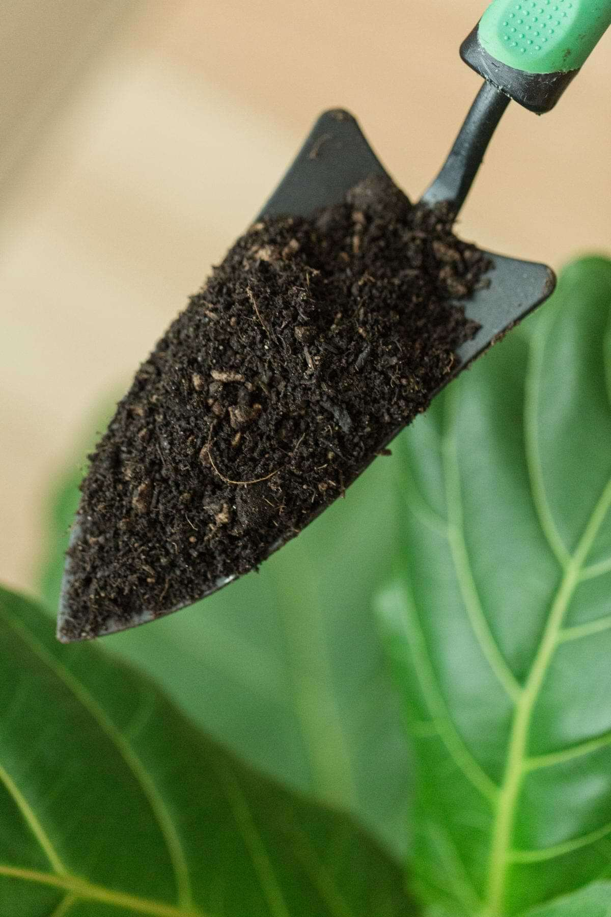 The correct fiddle leaf fig soil recipe makes a massive difference in the overall health and appearance of your plant. Learn the exact ingredients to use.