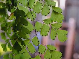 how to care for a maidenhair fern