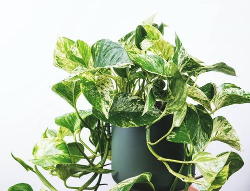 The Complete Golden Pothos Care Guide
