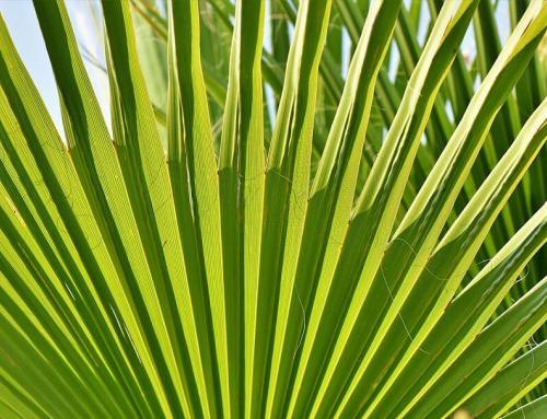 How to Prune and Propagate Your Majesty Palm