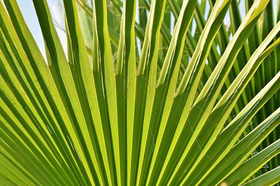 propagate your majesty palm