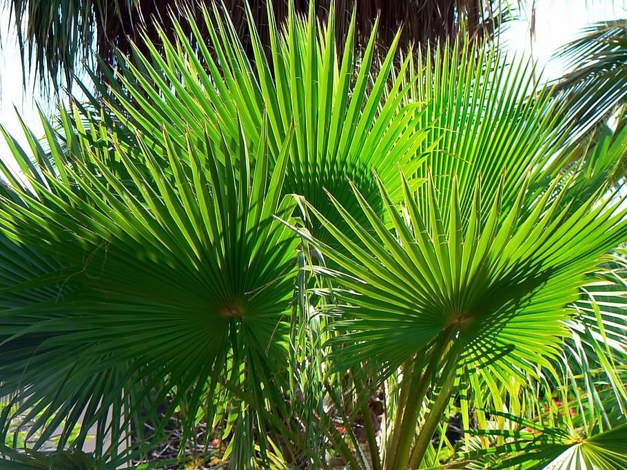 buy a majesty palm online