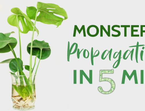 Monstera Propagation in 5 Minutes