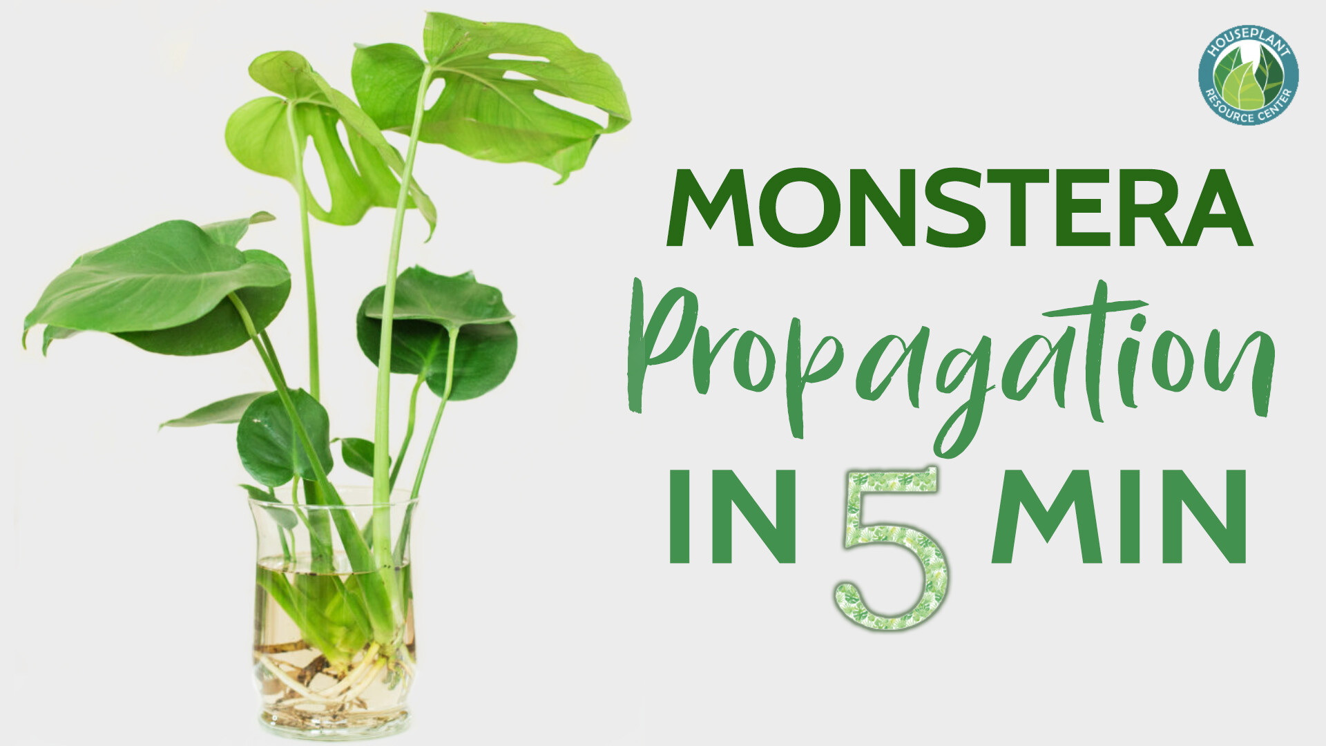 Monstera propagation in 5 minutes. Learn how to quickly propagate a monstera plant.