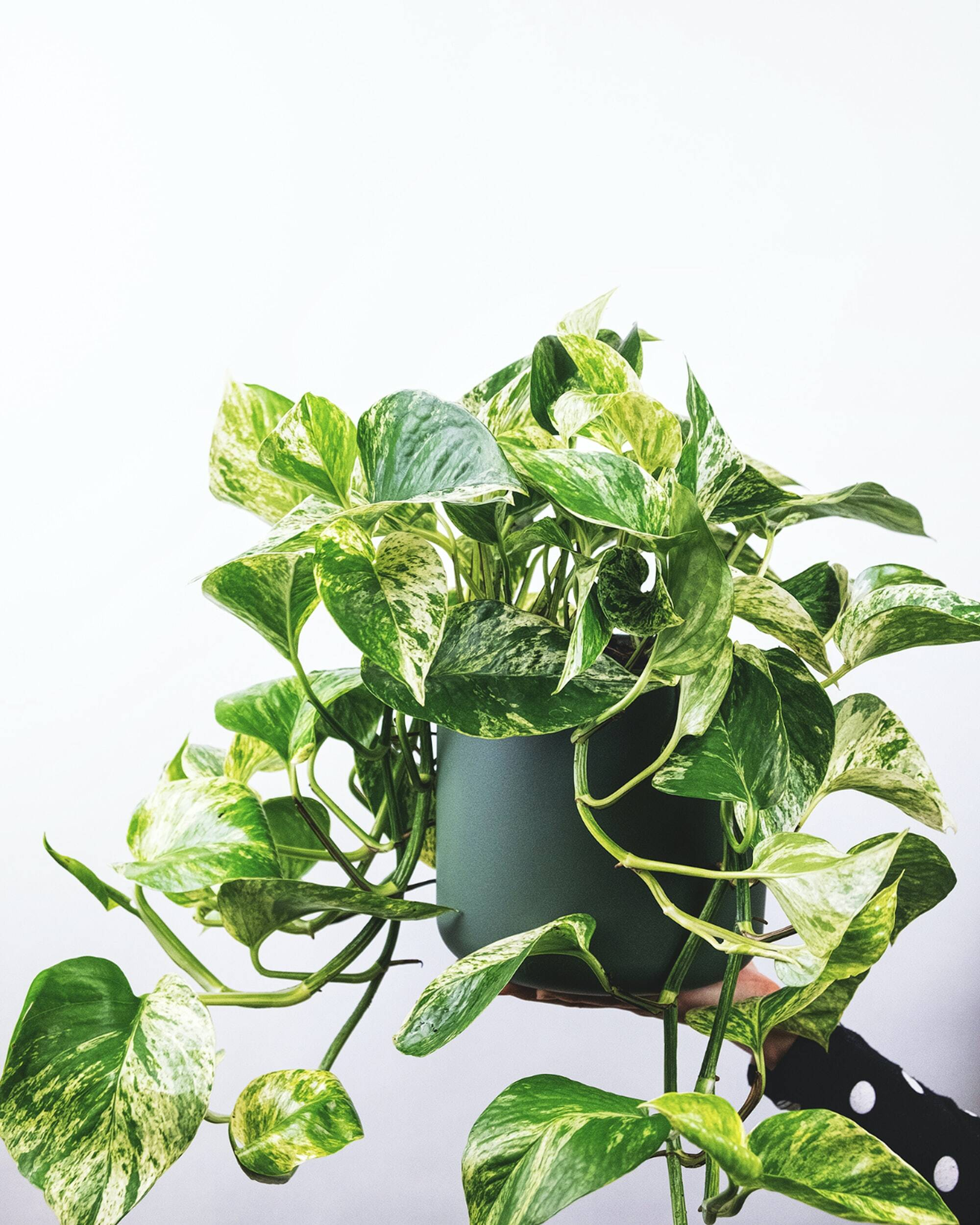 The Ultimate Guide to Pothos Varieties