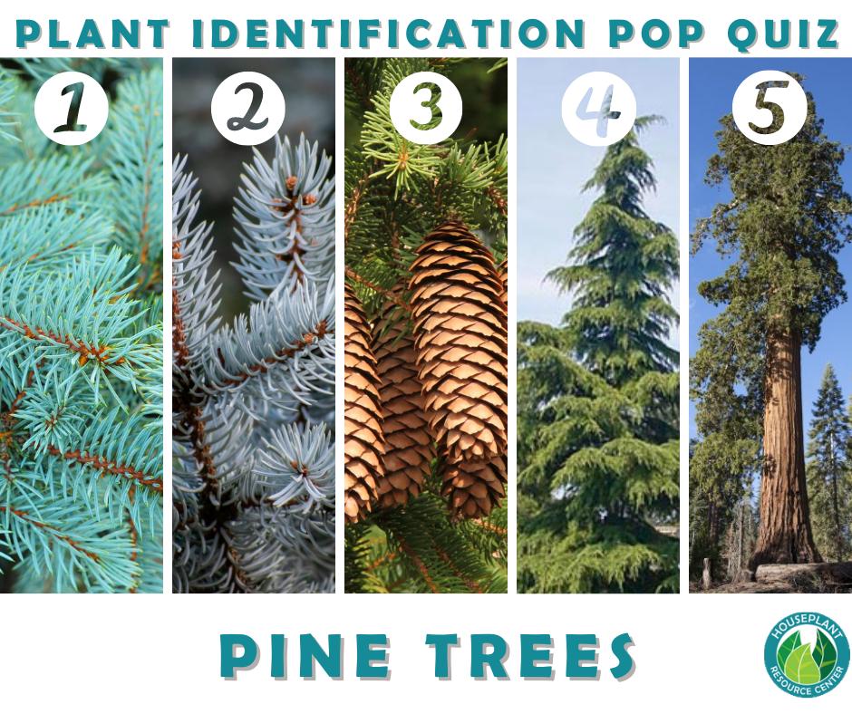 Plant Identification Pop Quiz: How to Identify Pine Trees