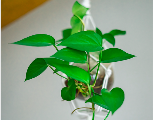 The Ultimate Guide to Philodendron Varieties